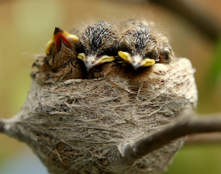 baby fantails