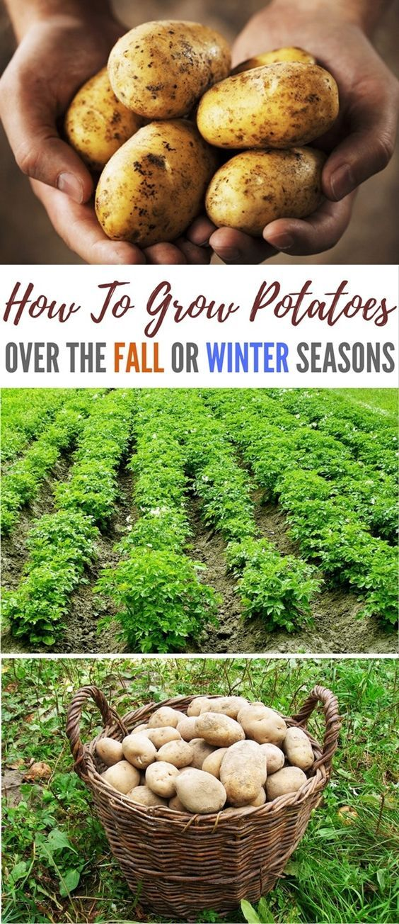 The beauty of winter potatoes is that you will be ready to harvest before the insects above and below the soil surface appear to devour plants and tubers. * Continue with the details at the image link.