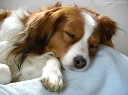 Favorite dog breed - the Kooikerhondje. I want one!