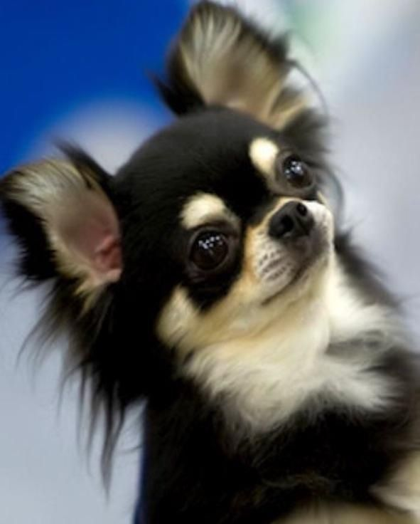 67. Chihuahua | Pertenece al grupo de Perros de compañía. Altura promedio: 15.2…