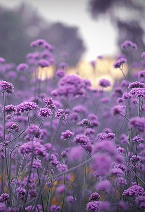 verbena bonnairiensis - another favourite of mine                              …
