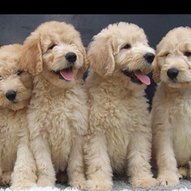 Beautiful Labradoodle Anime Adorable Dog - 5eae01a95883eeb0eed730e26bbd257d  Gallery_805242  .jpg