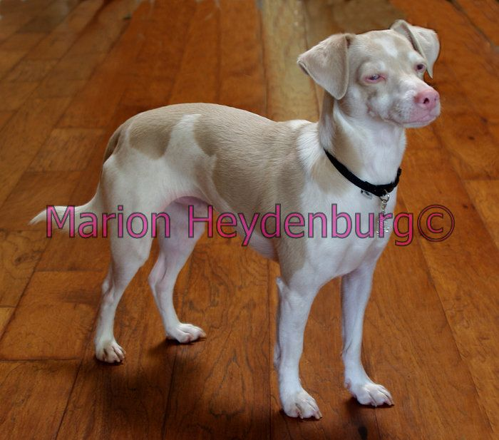 Mixed Breed Albino Dog Showing Extremely Diluted But Not