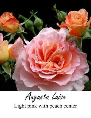 214 Best Images About Roses For Cut Flower Industry On Pinterest Tibet Pink Garden And Rose