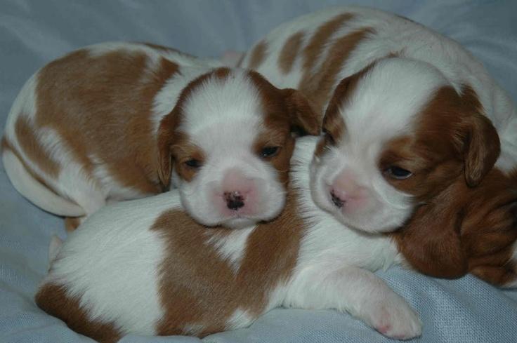 Cavalier King Charles Spaniel puppies <3