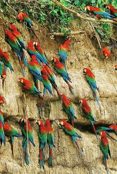 Eat Do Wild Macaws What