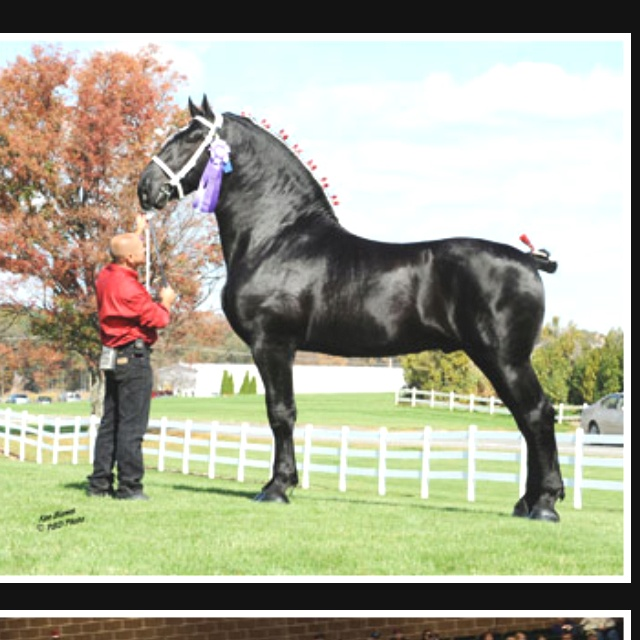 Black percheron horses - photo#28