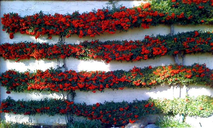 espaliered scarlet firethorn against white