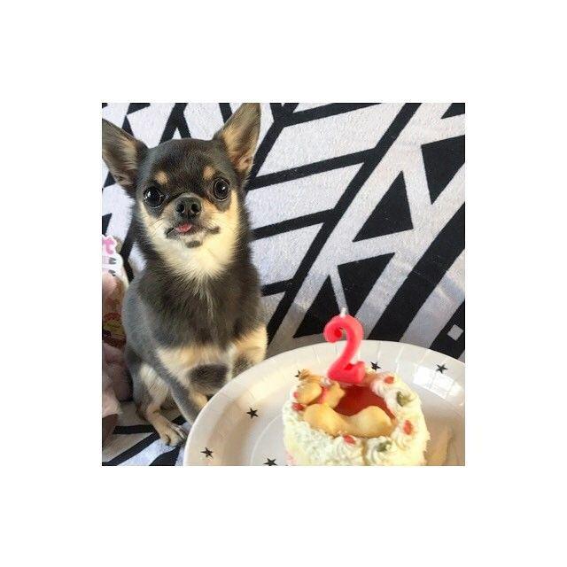 2017.4.30(Sun) ・ 🍰🍴Happy Birthday🎂✨ ・ ギンくん♡2歳になりました♡ ・ うちに来てくれてありがとう♡ これからもよろしくね♡ ・  #dog#dogstagram#instadog#chihuahua#chihuahuasofinstagram#chihuahualove#chihuahualife #happybirthday#west_dog_japan#pecoいぬ部#愛犬#誕生日#犬バカ部#チワワ#チワワ部#ふわもこ部#スムチー#スムチー大好き#スムースコートチワワ#チワワ好き#ブルータンチワワ#2歳#舌チロ#4月30日#犬の誕生日#멍스타그램#犬好きな人と繋がりたい#わんこなしでは生きていけません会#ギンくん