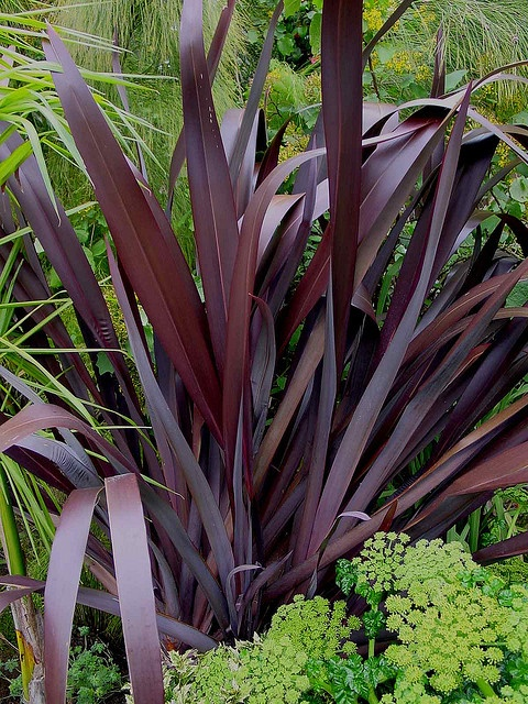 104 best phormium new zealand flax images on pinterest new zealand plants and plant. Black Bedroom Furniture Sets. Home Design Ideas