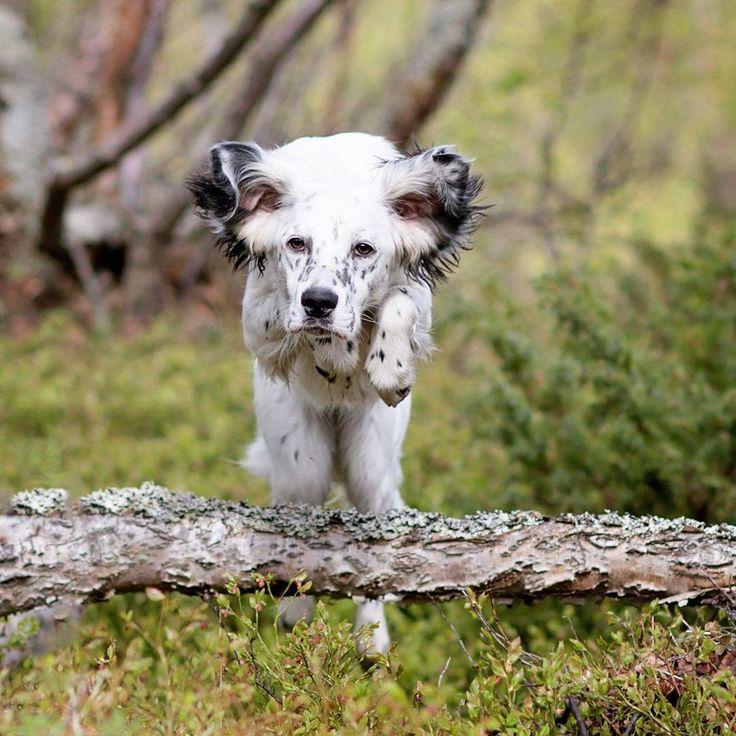 Jumping English setter puppie ❤