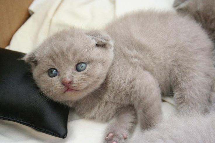SCOTTISH FOLD YAVRU KEDİLER - More cats with folded ears at catsincare.com!