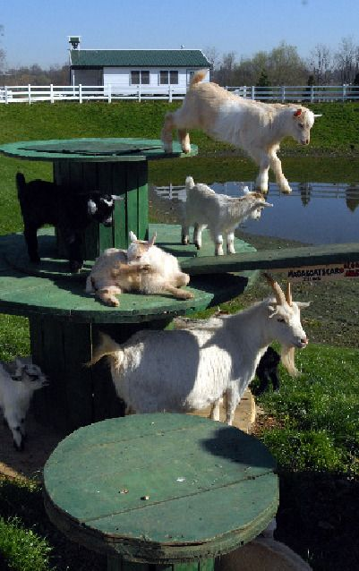 The Golden Goat Bridge- #babygoatfarm