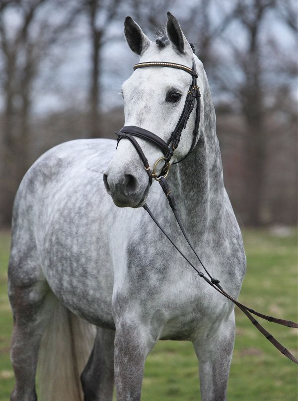 Conrad, Gelding - German Horse Center