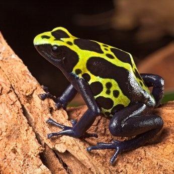 """Es el anfibio más venenoso de toda la Tierra. Esta rana exuda su veneno; es tan potente que puede matar, con todo su veneno, a 1500 personas. Se llama """"rana punta de flecha"""" porque los nativos mojaban la punta de una flecha con su veneno a la hora de cazar para matar al animal rápidamente. También es llamada Rana del Dardo Dorado."""
