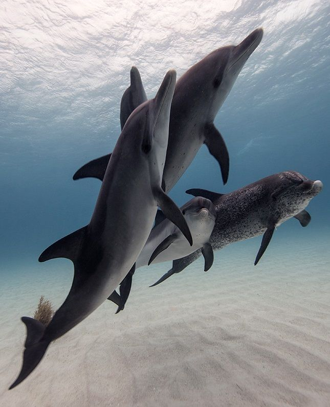 22 best dolphins images on Pinterest | Dolphins, Bottlenose dolphin ...