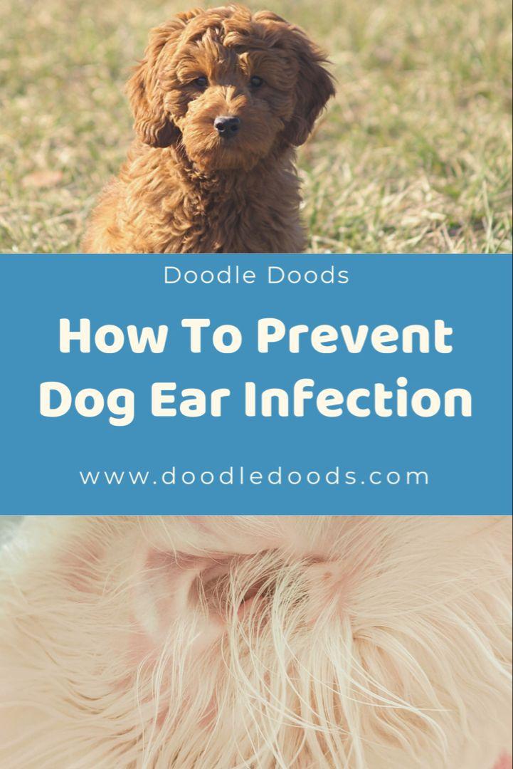 Dog ear infection in doodles prevention doodle doods in