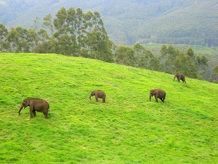 Wild elephants at Munnar. Feel delighted to spend your honeymoon with the amazing tour packages of ABAD hotels at Cochin.