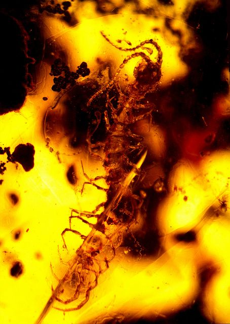 fossil centipede in 100 millions years old burmite amber   Flickr - Photo Sharing!