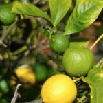 Multiple Grafted Citrus Trees: Growing A Mixed Graft Fruit Tree There's nothing quite like picking and eating fruit from your very own tree. But it can be hard to choose just one. Thanks to grafting, you can have as many fruits as you want, all on the same tree. Learn more about growing a mixed graft citrus tree in this article.