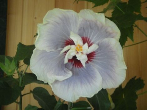 """Существует множество видов и сортов гибискуса. В южных областях как нашей страны, так и зарубежья широко распостранен гибискус Сирийский, растет он и цветет повсеместно под открытым небом и радует глаз обилием цветов. Есть и комнатное растение, вот о нем и хочу рассказть. Часто его называют """"Китайский розан"""", но к розам гибискусы не имеют никакого отношения, – это семейство Мальвовых. Еще лет 10 тому назад многим любителям комнатных растений был известен..."""