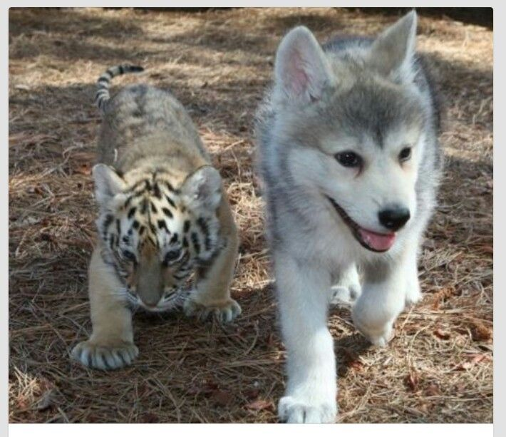 Baby tiger and baby wolf... adorable | puppy/furry love ...