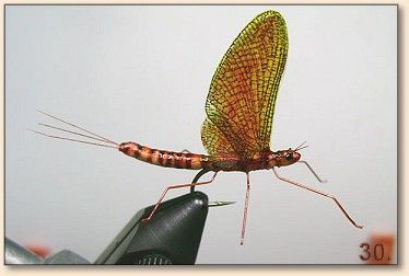 Mayfly. This realistic insect fly fishing lure is simple to make. Can you DIY this homemade lure at your home?