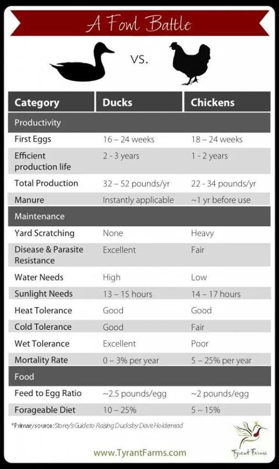 Chicken vs Ducks