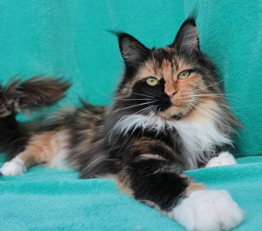 Maine Coon, black torti solid & white (f 09). Ladybird Look of Lynx