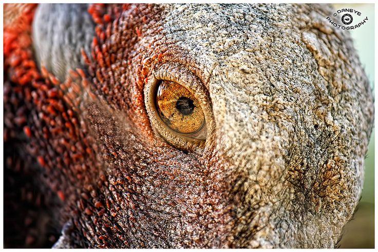 A close up of a brolga 39 s eye an australian bird eye of the beholder pinterest australian - Treehouses the absolute freedom ...