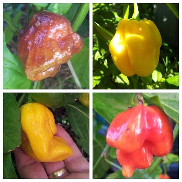 The Scorpion Pack - The Hippy Seed Company - Chilli Seeds