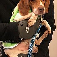 Potomac, Maryland - Beagle. Meet Pogo, a for adoption. https://www.adoptapet.com/pet/20388255-potomac-maryland-beagle