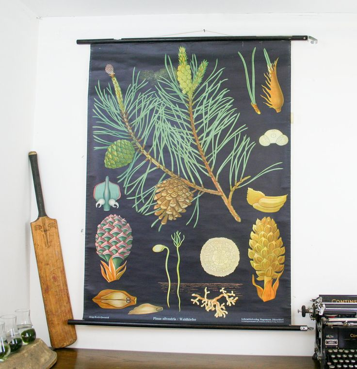 Vintage Botanical Chart, Pine Tree, Jung Koch Quentell School Pull Down Chart. £140.00, via Etsy.