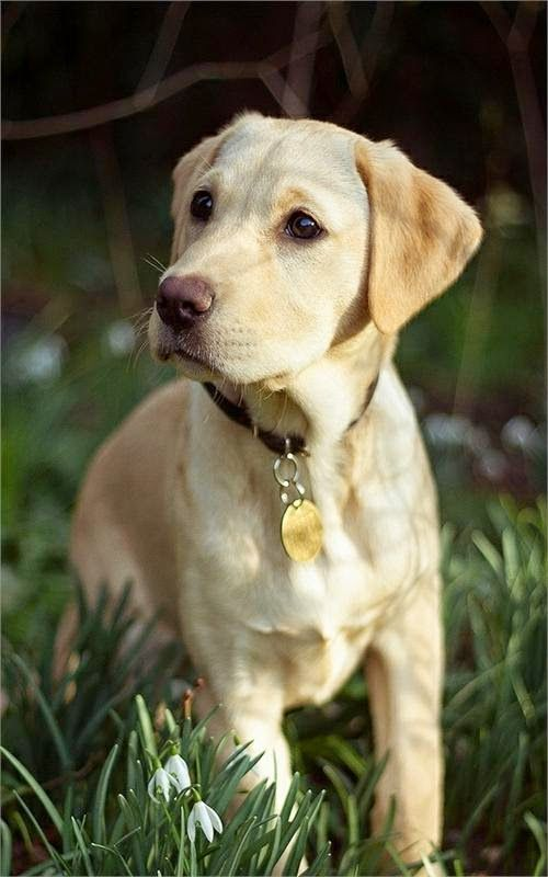 """Jack describes his dog in """"Love that Dog"""" as a yellow dog. When I read that, I imagined a yellow lab."""
