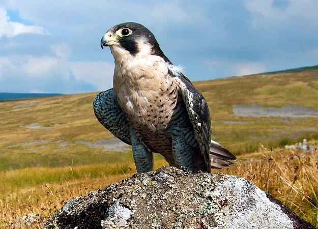Peregrine Falcon | North America | Discovery