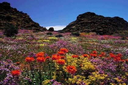 Wauw - het is weer lente. Prachtige bloemen in bloei in Springbok.