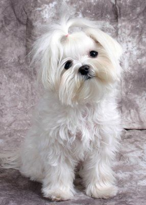 Girl Hairstyles - Maltese Dogs Forum : Spoiled Maltese Forums