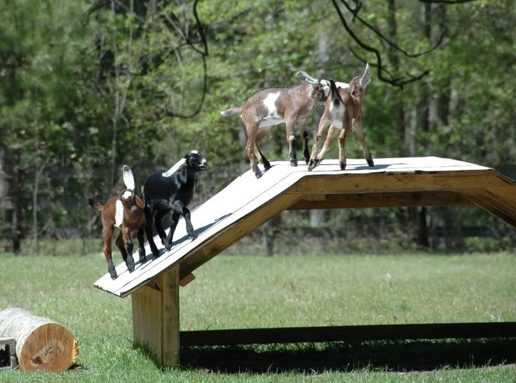 Goat play house