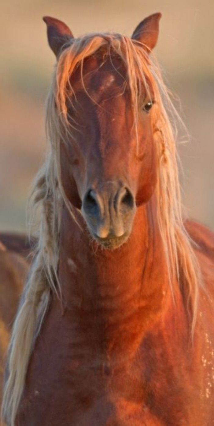 Imperatore horse vans for sale - Another Pinner Said Chestnut Horse In Sunset Glow One Of The Wild Mustangs Still Running Free Outside Cody Wyoming