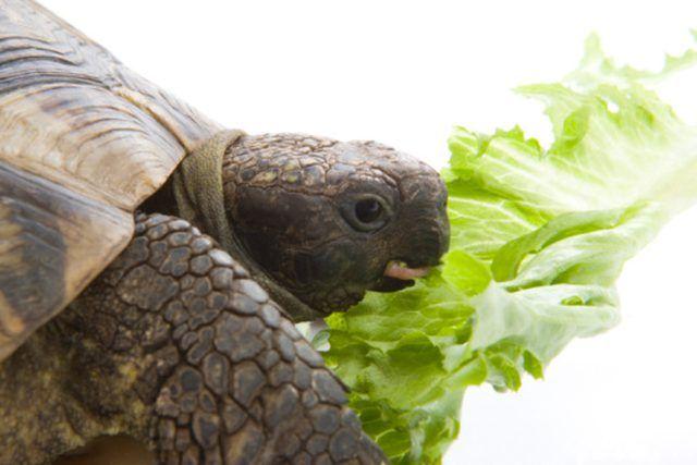 Best Foods For Sulcata Tortoises