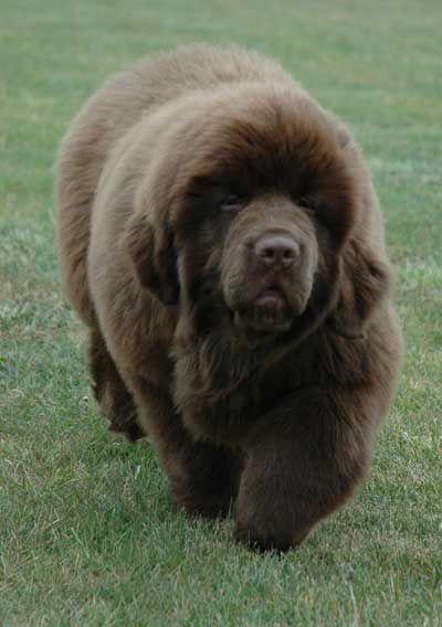 14 Week Old Newfoundland puppy, Enzo.