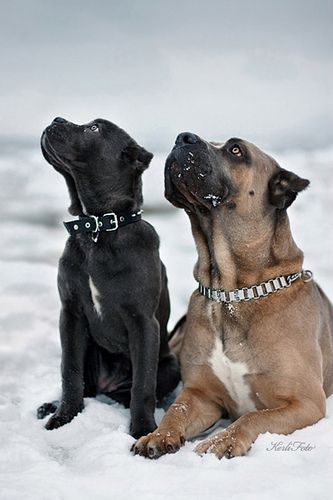Hope to have one or two someday. When able to.#Cane #Corso #dogs