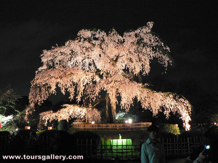Cherry Blossom in Maruyama Park, Japan. Night illumination in April with Toursgallery.com