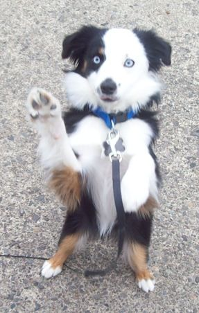Mini Australian Shephard- I want this little friend!