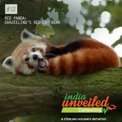 Known as the lesser panda or the red-cat bear, the Red Panda is an endangered arboreal mammal whose conservation measures are well catered to in Darjeeling at the Padmaja Naidu Himalayan Zoological Park. The red panda's diet thrives on mainly on bamboo shoot and leaves and small fruits from trees. Being slightly larger than a domestic cat – the red panda looks adorable in its reddish brown fur and its long shaggy tail. To download and read more India Unveiled stories, visit…