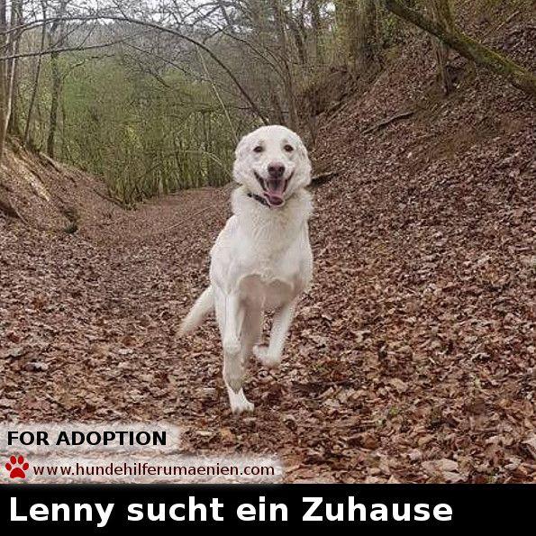 <3 Lenny sucht ein Zuhause <3 Mehr Bilder und Infos auf unserer Seite <3 www.hundehilferumaenien.com/lenny/ Er ist am 01.10.2015 geboren und seit Februar 2016 in seiner Familie in Deutschland , 35619 Braunfels.  Lenny liebt die Kinder in der Familie ( Alter 2,5 , 4 und 5 Jahre ), er spielt und kuschelt sehr gerne mit ihnen. Katzen leben auch im Haushalt, daher auch gar kein Problem. Lenny kennt die Grundkommandos, läuft gut an der Leine, ist stubenrein und kann auch mal alleine bleiben. Er…