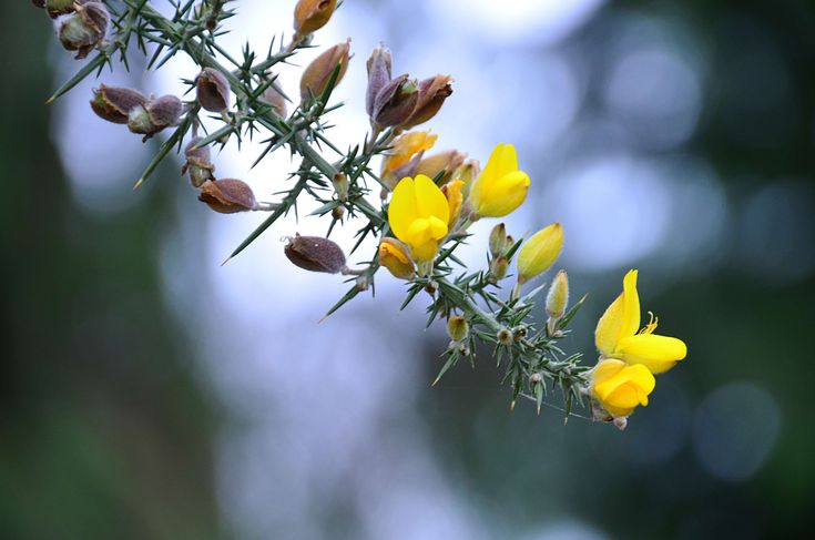 #arbuste #balai #botanique #branche #fleurs #fleurs jaunes #gntes #ptales #plantes
