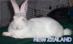 Conejos | Razas de conejos | Fotos | Conejitos Enanos