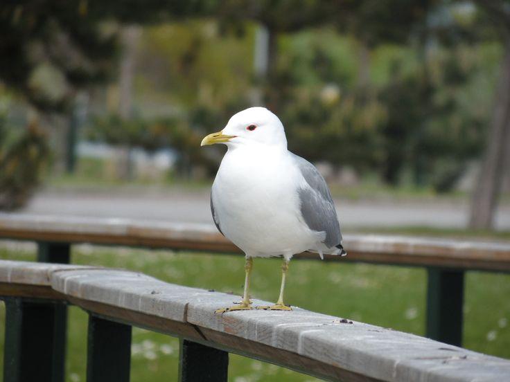 Gaviota/Seagull