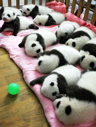 UBER CUTE!! - The panda cubs nap at a nursery in the research base of the Giant Panda Breeding Centre in Chengdu, Sichuan province / AFP